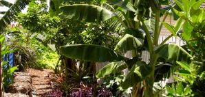 Banana 'Blue Java' growing in Wynnum without the aid of chemical fertilisers, poisons or paramilitary organisations...