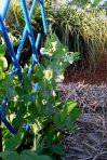 Snow Pea Pisum sativum 'Oregon Sugar Pod'