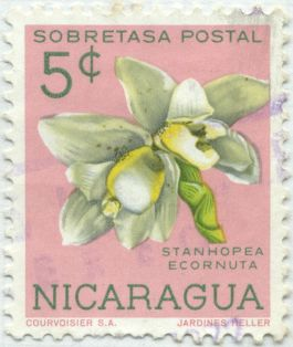 Nicaragua - Stanhopea ecornuta