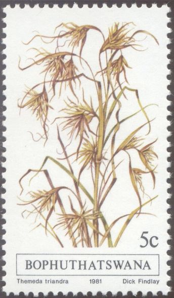 Bophuthatswana - Themeda triandra - Kangaroo grass