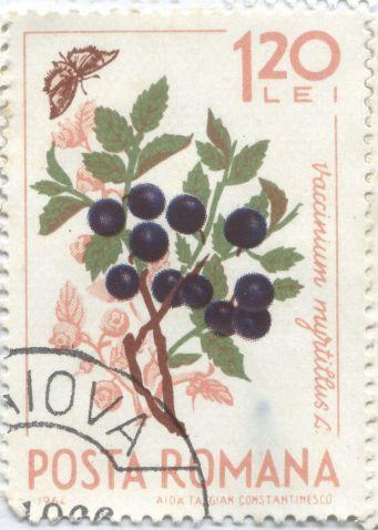 Romania - Vaccinium myrtifolius
