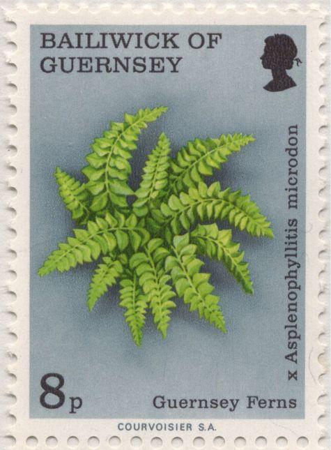 Guernsey - x Asplenophyllitis microdon