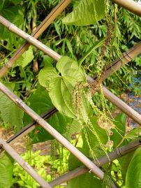 aerial potato or yam Dioscorea bulbifera - 2