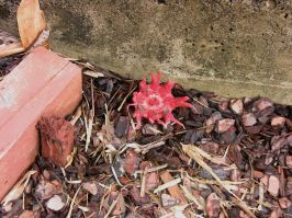 Starfish fungus, Aseroe rubra, October 2008