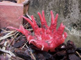 Starfish fungus, Aseroe rubra