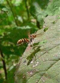 Australian paper wasp, Polistes humilis, hunts amongst Chinese spinach
