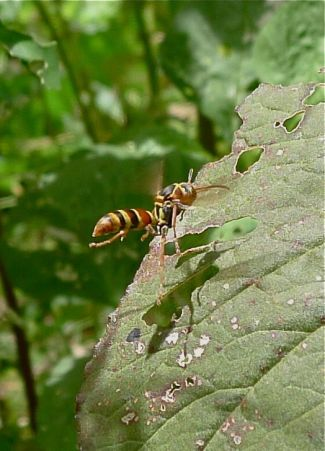 Australian paper wasp, Polistes humilis, hunts amongst Chinese spinach