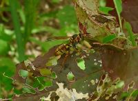 Australian paper wasp, Polistes humilis, hunting amongst Chinese spinach