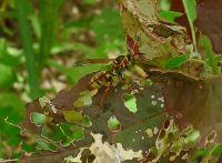 Australian paper wasp, Polistes humilis, hunting amongst Chinese spinach
