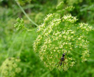 Banded pupa parasitic wasp, Gotra sp.