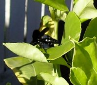 parasitoid Black hairy flower wasp, Scolia soror