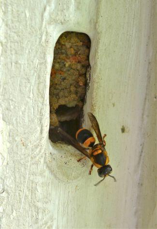 predator: Black-headed mud-nesting wasp, Pseudabispa sp.