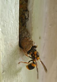 predator: Black-headed mud-nesting wasp, Pseudabispa sp.