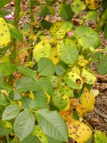 Black spot disease, Marssonina rosae, on rose at Sydney Botanic gardens. Prevent by spraying with sodium bicarbonate