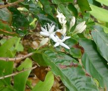 Blue-banded bee (Amegilla cingulata) pollinates coffee (Coffea arabica 'First Fleet')