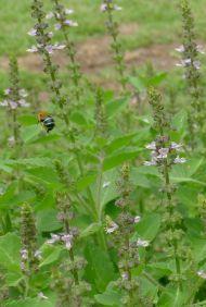 Blue-banded bee (Amegilla cingulata) pollinates sacred basil