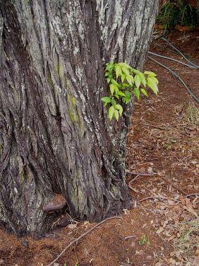 Our neighbour's Bribie Island pine under siege by bracket fungus, Ganoderma sp.