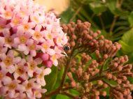 Great carpenter bee, Xylocopa aruana, on Rondeletia amoena flower