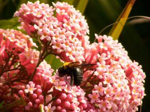 Native stingless bee Trigonia carbonaria