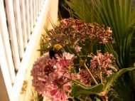 Great carpenter bee, Xylocopa aruana, on Rondeletia amoena flower