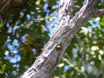 Great carpenter bee, Xylocopa aruana, on Leptospermum