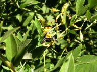 Great carpenter bee, Xylocopa aruana, on pigeon pea