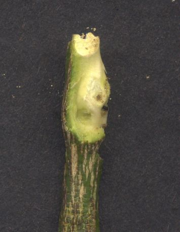 Native pest: opened gall of Citrus gall wasp, Bruchophagus fellis, on lime