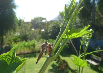 Predator: the common brown robber fly, Alcimus tristrigatus, with honeybee