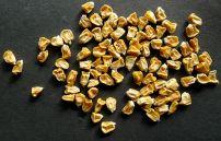 Corn, Zea mays 'Bicolor'