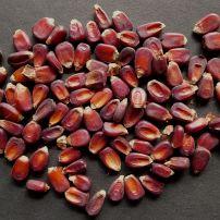 Corn, Zea mays 'Red Aztec'