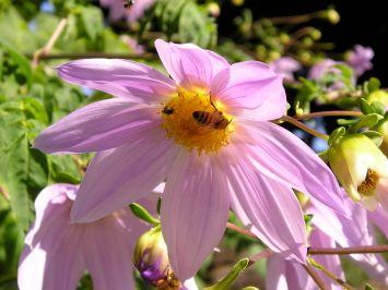 Dahlia imperialis with honeybee and Tetragonula carbonaria, the native stingless bee