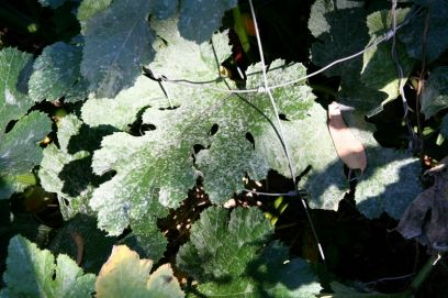 Downy mildew on pumpkin at Beelarong Community garden, Brisbane. Prevent by spraying with milk solution