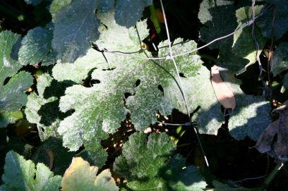 Downy mildew on pumpkin at Beelarong Community garden, Brisbane. Prevent by spraying with milk solution