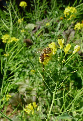 English strain, or black honeybee, Apis mellifera subsp. mellifera, on mizuna