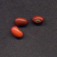 Erythrina berteroana