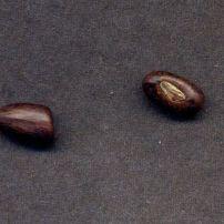 Erythrina unknown Bidwill cross