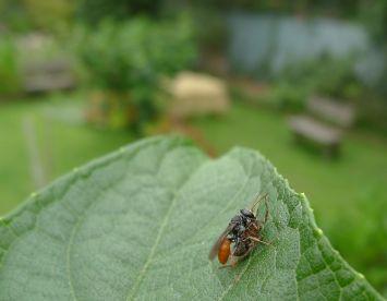 predatory Fire-tailed mud nesting wasp (Paralastor sp?) on choko