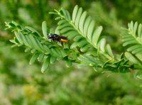 Fire-tailed resin bee, Megachile mystaceana, on Prumnopitys ladei