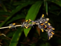 Fire-tailed resin bees (Megachile mystaceana) gather at sunset on bamboo