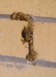 nest of Fire-tailed resin bee, Megachile mystaceana