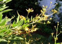 Fire-tailed resin bee, Megachile mystaceana, on pigeon pea