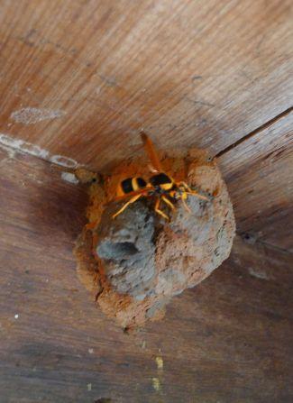 predatory Giant mason (or Large mud-nesting) wasp, Abispa splendida