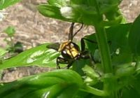 predatory Golden digger wasp, Sphex sp.
