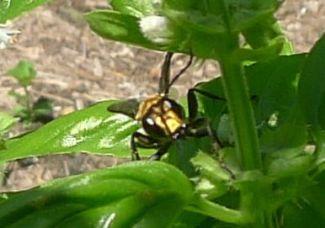 predatory Golden digger wasp, Sphex sp.