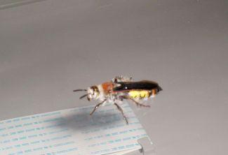 Hairy flower wasp, Campsomeris radula