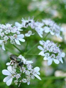 Halictid bee, Homalictus flindersi, on coriander flower