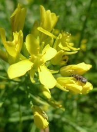 Halictid bee on mizuna flower