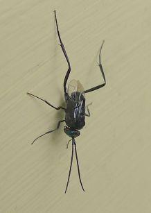 Hatchet wasp, Evania sp., parasitises cockroach larvae