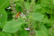 Honeybee pollenates Holy basil, Ocimum tenuiflorum