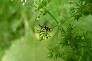Jezebel parasitoid wasp, Brachymeria aurea, drinks parsley nectar